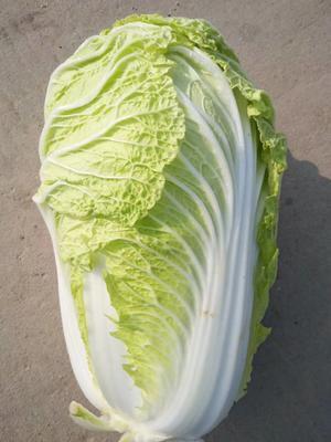 陕西渭南青杂三号白菜 3~6斤 净菜