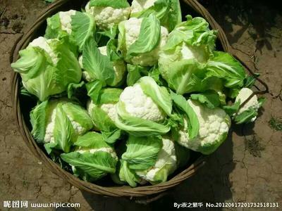 湖北天门白花菜花 紧密 1~2斤 乳白