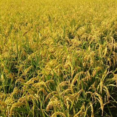 这是一张关于稻花香2号 晚稻的产品图片