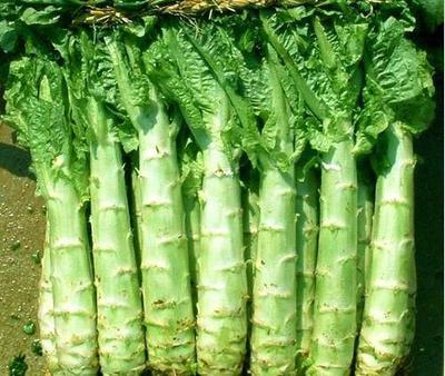 湖北襄樊青皮尖叶莴苣 24~28cm 0.8~1.0斤