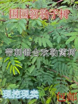 广西壮族自治区钦州市灵山县银合欢
