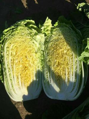 河北省秦皇岛市昌黎县玲珑黄白菜 3~6斤 净菜
