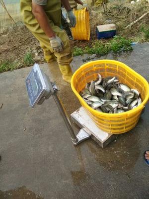 广东佛山顺德区加州鲈鱼 人工养殖 0.5公斤以下