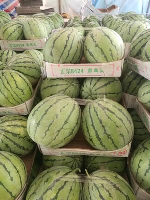 湖南岳阳麒麟西瓜 有籽 1茬 8成熟 7斤打底