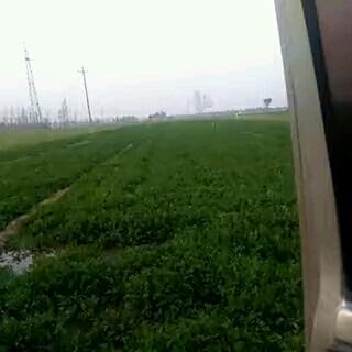 山东省聊城市临清市小叶香菜 35cm以上