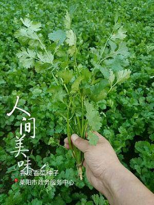 山东烟台莱阳市香菜种子