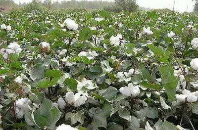 山东滨州平原棉花