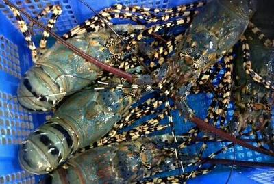 广东省佛山市南海区近缘新对虾 人工殖养 2钱以下
