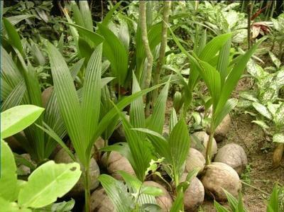广西壮族自治区钦州市灵山县椰子苗