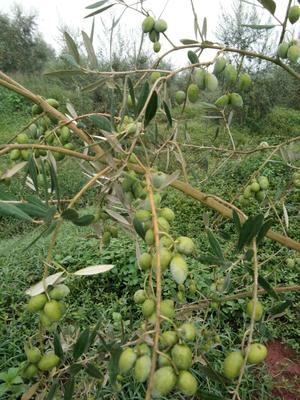 重庆重庆合川橄榄油