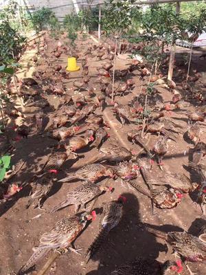 安徽安庆七彩山鸡 2-3斤