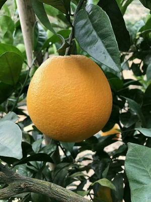 这是一张关于赣南脐橙 65 - 70mm 4-8两的产品图片
