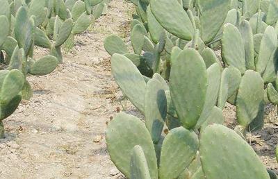 四川省凉山彝族自治州盐源县食用仙人掌苗 种薯类