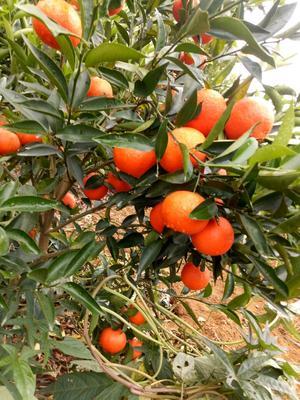 广西贺州富川瑶族自治县柑树苗 0.5米以下