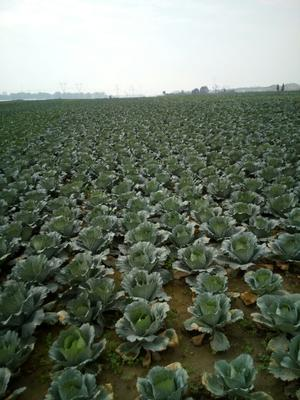 湖北襄樊冬绿甘蓝 2.0~2.5斤