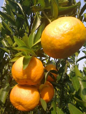 这是一张关于芦柑 6 - 6.5cm 2 - 3两的产品图片