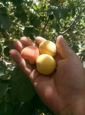 新疆维吾尔自治区阿克苏地区阿克苏市树上干杏 30-40mm