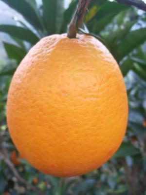这是一张关于脐橙 65 - 70mm 4两以下 橙子的产品图片