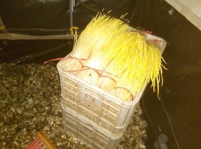 山东威海蒜黄 45 - 50cm