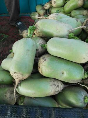 河南省焦作市博爱县791罐萝卜 1.5~2斤