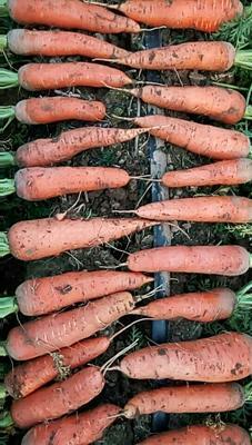 山东省德州市陵城区黑胡萝卜 15cm以上 5两以上 5cm以上