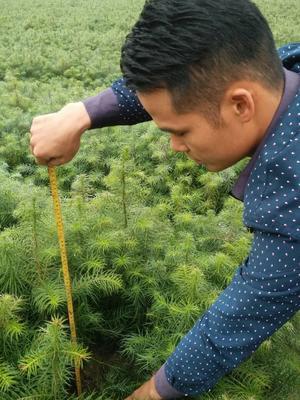 广西柳州融安县杉木树苗
