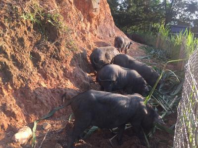 广西河池黑猪 100斤以上
