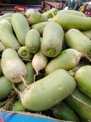河南省开封市通许县青皮绿萝卜 1.5~2斤