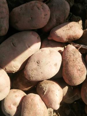 甘肃金昌青薯168号 3两以上