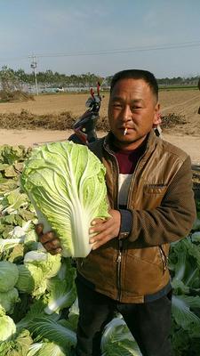河南商丘青杂三号白菜 6~10斤 净菜