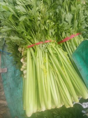 河南省开封市通许县美国西芹 40~45cm 露天种植 0.5~1.0斤