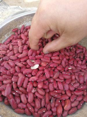 内蒙古乌兰察布红芸豆
