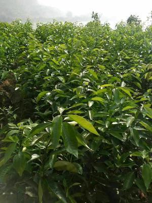 四川省宜宾市宜宾县柑树苗 0.5~1米
