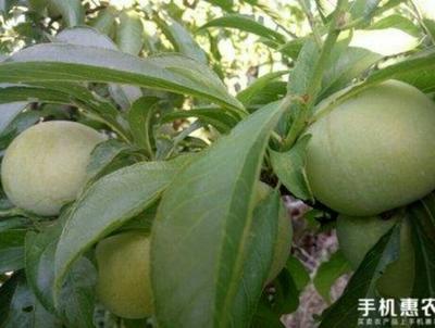 贵州遵义习水县脆红李 10 - 15mm