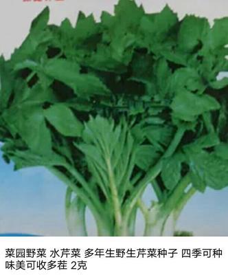 广东广州四季西芹 40cm以下 0.5斤以下