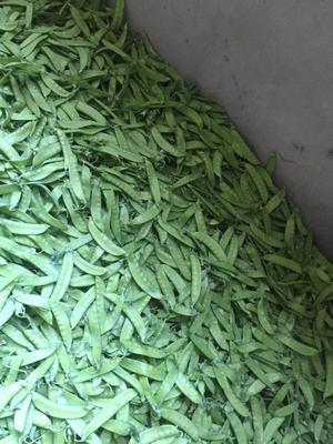 甘肃兰州荚豆 9~10cm