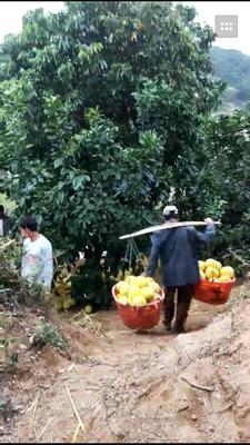 福建宁德白皮柚 1.5斤以上