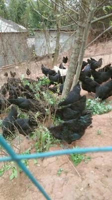 四川成都土乌鸡 4-5斤