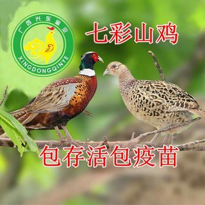广西南宁七彩山鸡 1斤以下