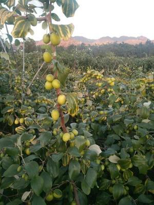 这是一张关于青枣 直口 50g以上的产品图片