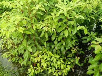 广西桂林樟树苗