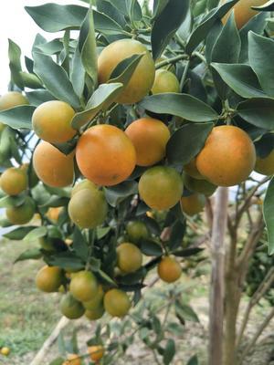 广西柳州脆皮金桔 3-4cm 1两以下