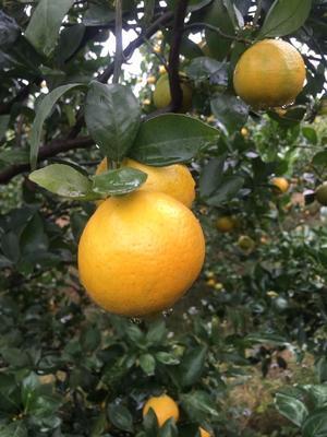 这是一张关于黄帝柑 4 - 4.5cm 1 - 1.5两的产品图片