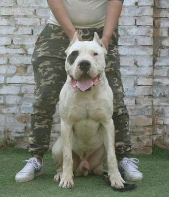 这是一张关于杜高犬的产品图片