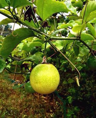 广西壮族自治区钦州市灵山县黄金百香果种子