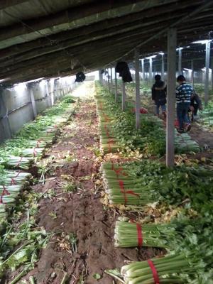 这是一张关于法国皇后芹菜 60cm以上 1.0~1.5斤的产品图片