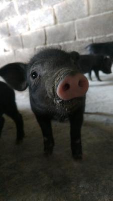 广西河池生态土黑毛猪 100斤以上