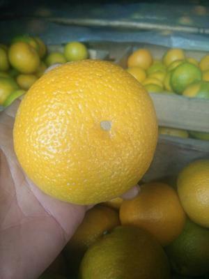 福建南平桔柚 1斤以下