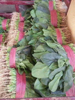 河南安阳大叶菠菜 20~25cm