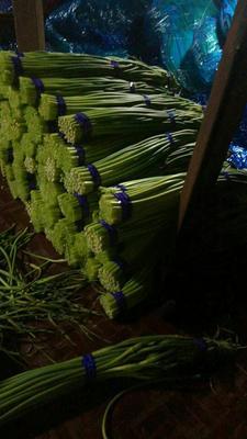 山东聊城大名蒜苔 一茬 50~60cm 精品